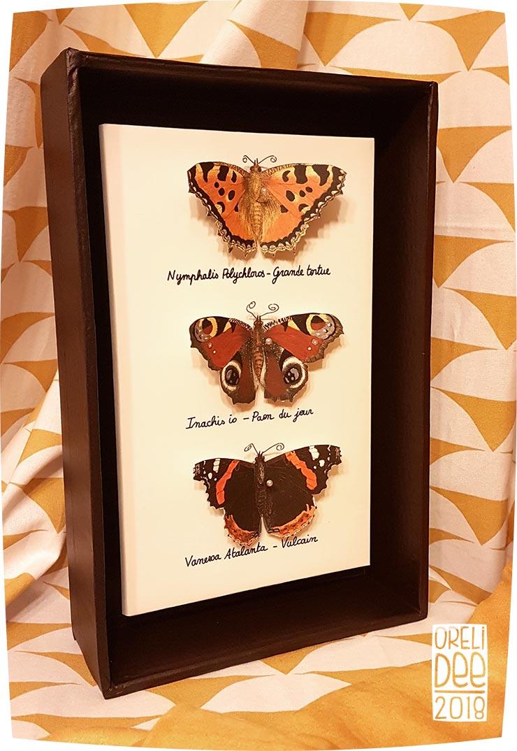 cadre naturalisation papillons nymphe