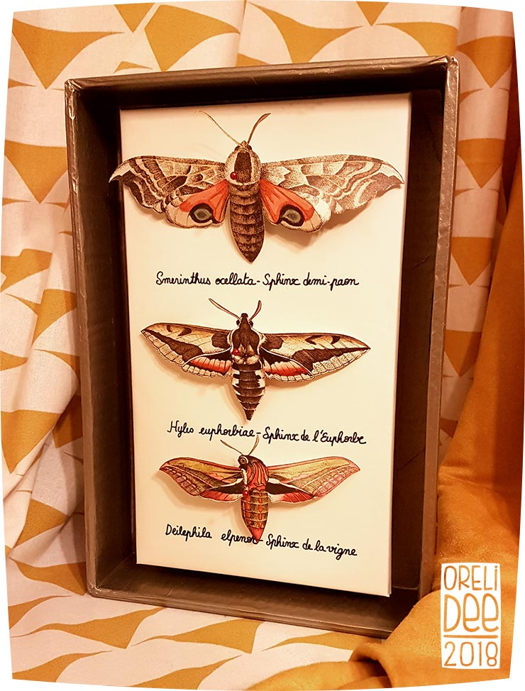 cadre naturalisation papillons sphinx
