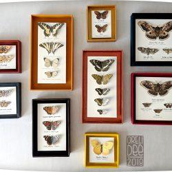 Série de cadres papillons naturalisés